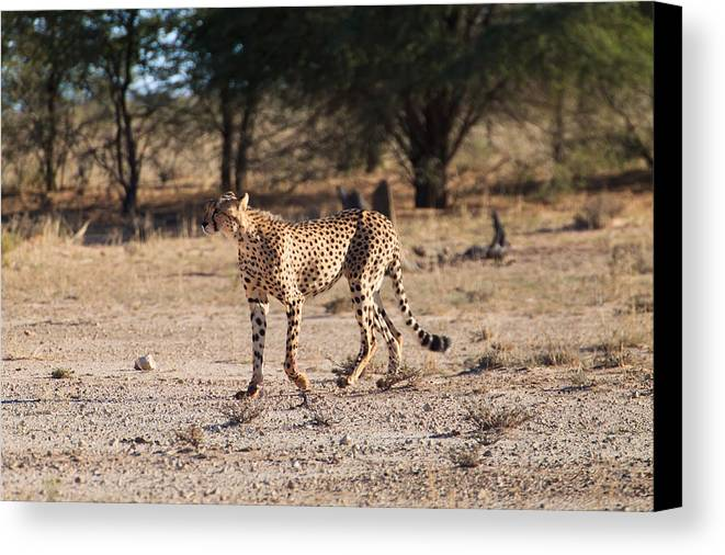 Acinonyx Jubatus Canvas Print featuring the photograph Cheetah by Davide Guidolin