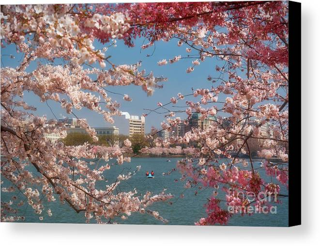 Cherry Canvas Print featuring the photograph Cherry Blossoms On The Edge Of The Tidal Basin Three by Susan Isakson