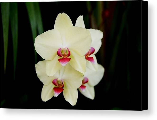 Ivory Canvas Print featuring the photograph Cherry Vanilla by Betnoy Smith