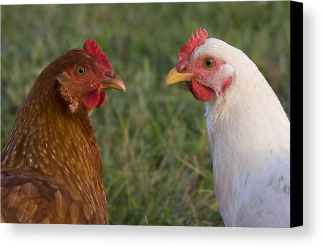 Chicken Hen Farm Rural Curious Bird Country Canvas Print featuring the photograph Chickens by Andrei Shliakhau