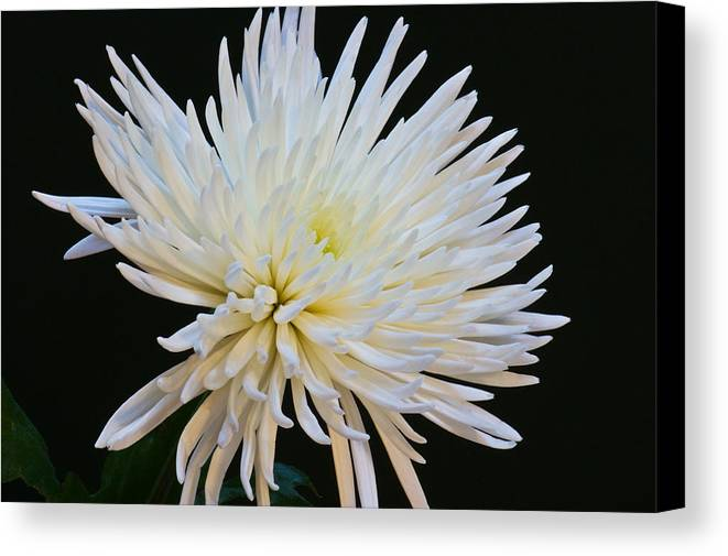Botanical Canvas Print featuring the photograph Chrisanthium On Black 2 by Edward Myers