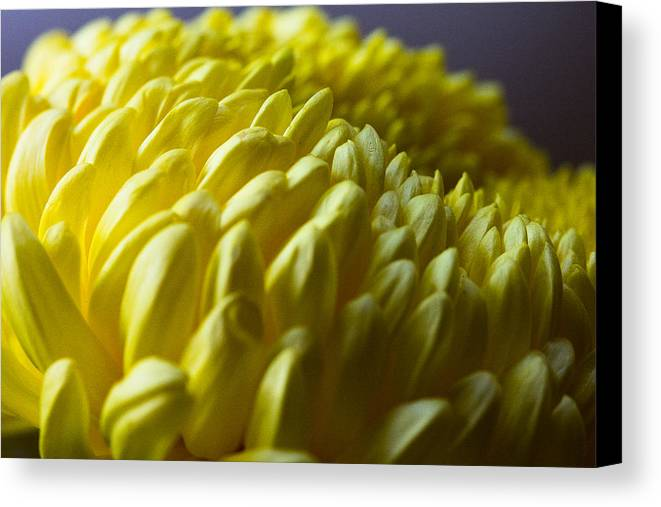 Flower Canvas Print featuring the photograph Chrysanthemum by Peteris Vaivars