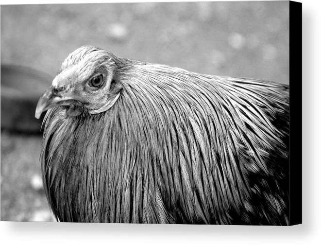 Photographer Canvas Print featuring the photograph Cluck 2 by Jez C Self