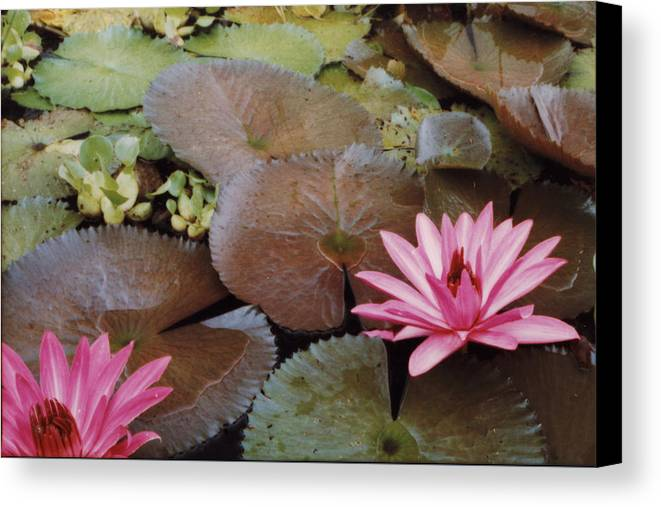 Lillies Colombia Flower Pink Water Green Canvas Print featuring the photograph Colombian Pink Lillies by Lawrence Costales