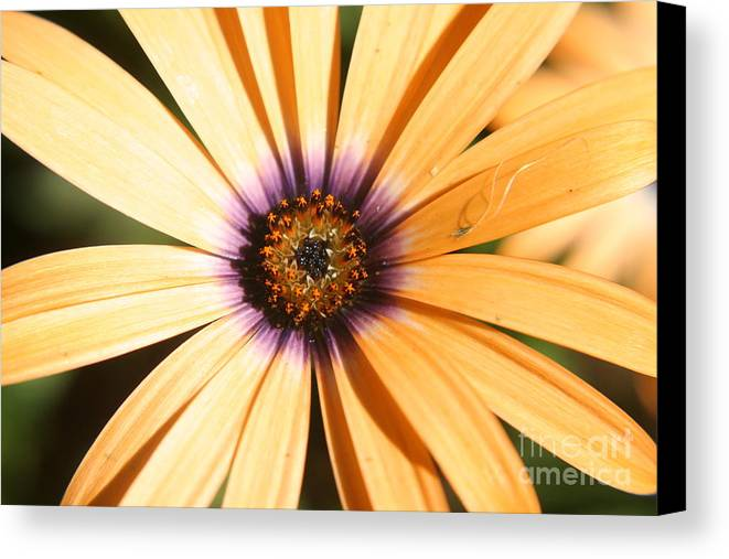 Flower Canvas Print featuring the photograph Color Burst by Amy Holmes