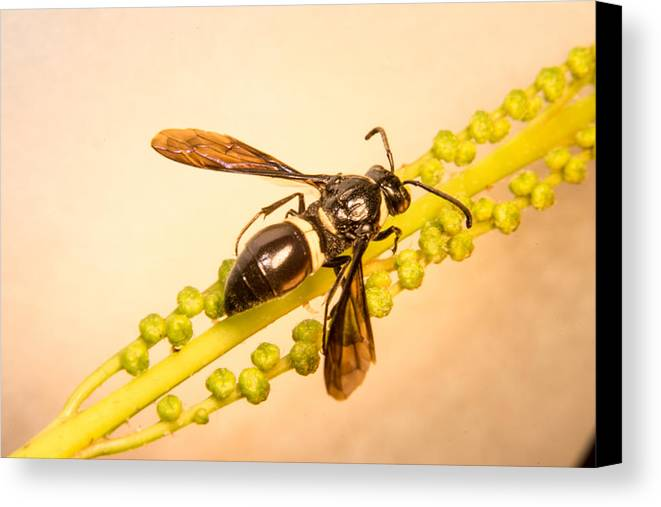 Hymenoptera Canvas Print featuring the photograph Colorful Hymenop 4 by Douglas Barnett