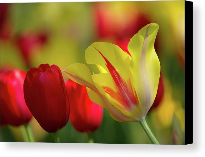 Atlanta Canvas Print featuring the photograph Colorful Tulips by Mark Chandler