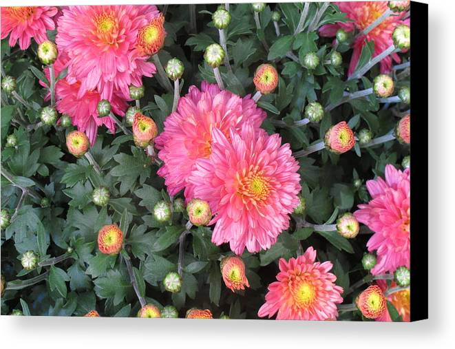 Coral Mums Canvas Print featuring the photograph Coral Mums 2 by Cindy Kellogg