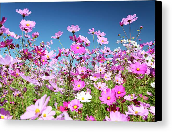 Cosmos Canvas Print featuring the photograph Cosmos Flowers by Neil Overy