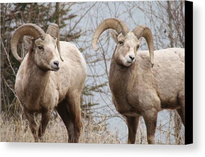 Bighorn Sheep Canvas Print featuring the photograph Couple Of Rams- Banff National Park by Tiffany Vest