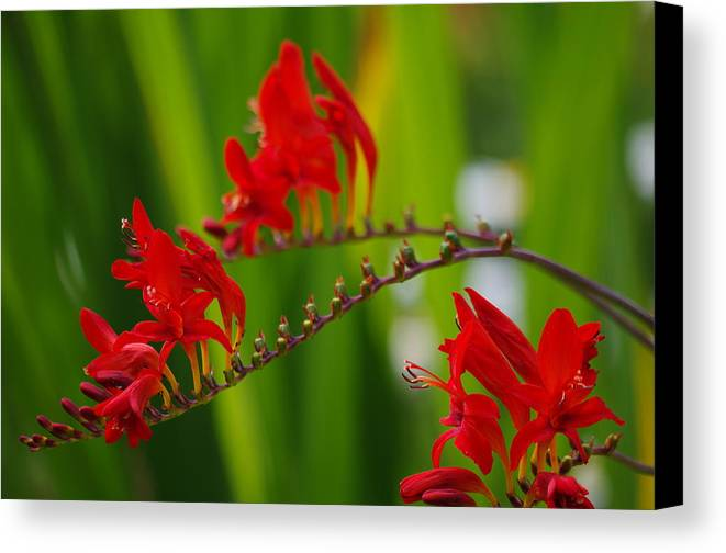 Crocosmia Canvas Print featuring the photograph Crocosmia by Kat J