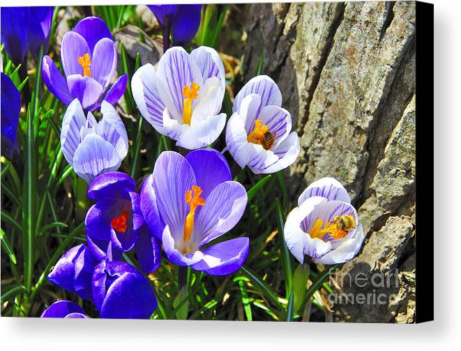Crocus Canvas Print featuring the photograph Crocus Tommasinianus by Thomas R Fletcher