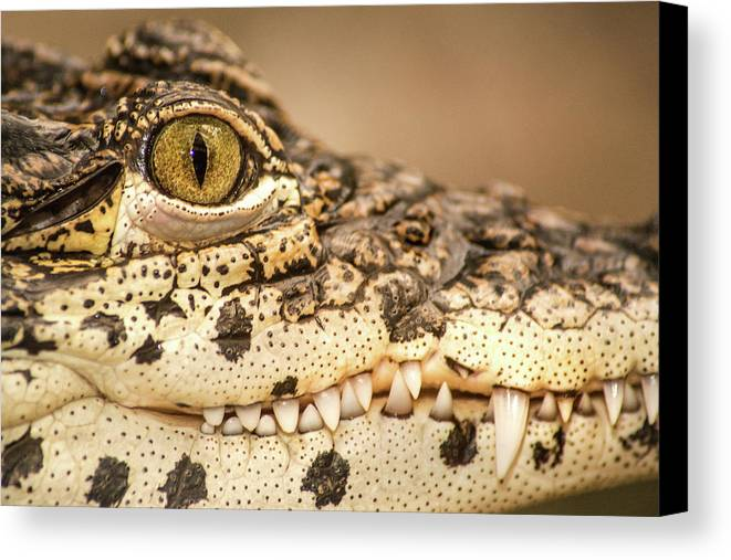 Animals Canvas Print featuring the photograph Cuban Croc Smile by Don Johnson