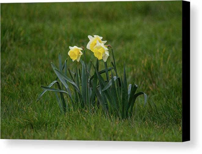 Daffodils Canvas Print featuring the photograph Daffodils by Stephen Jenkins