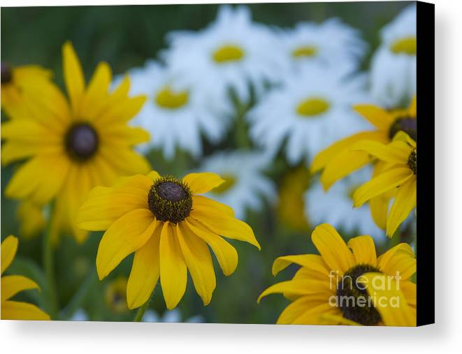 Daisy Canvas Print featuring the photograph Daisies by Idaho Scenic Images Linda Lantzy