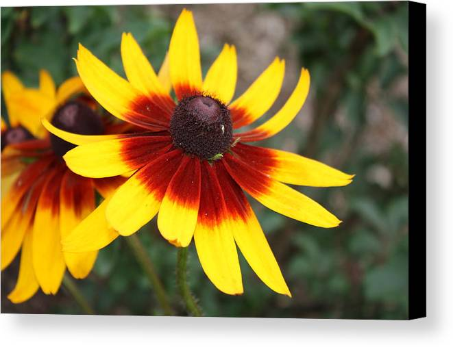 Flowers Canvas Print featuring the photograph Daisy With A Question Mark by Paula Coley