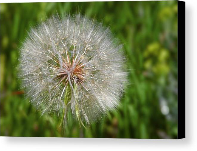 Flower Canvas Print featuring the photograph Dandelion Puff - The Summer Queen by Christine Till