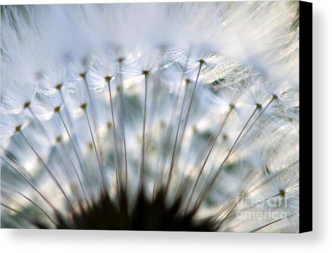 Flower Canvas Print featuring the photograph Dandelion by Silke Magino