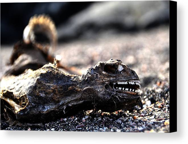 Galapagos Canvas Print featuring the photograph Dead Marine Iguana by Harry Coburn