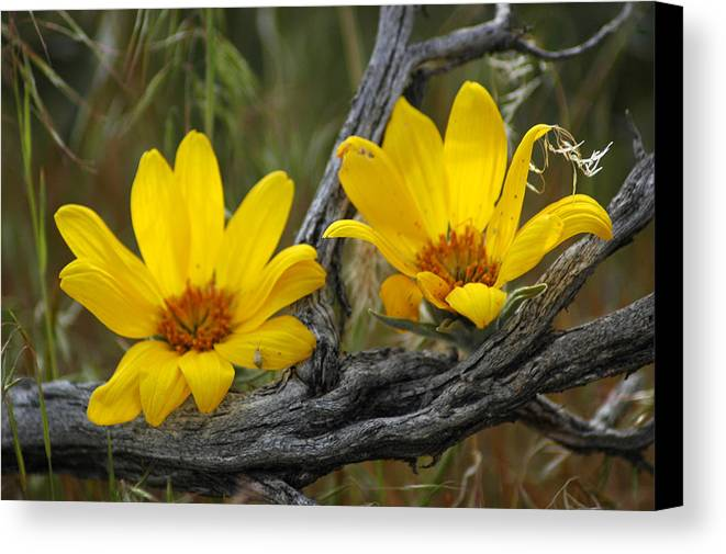 Flowers Canvas Print featuring the photograph Desert Bloom by Lori Mellen-Pagliaro