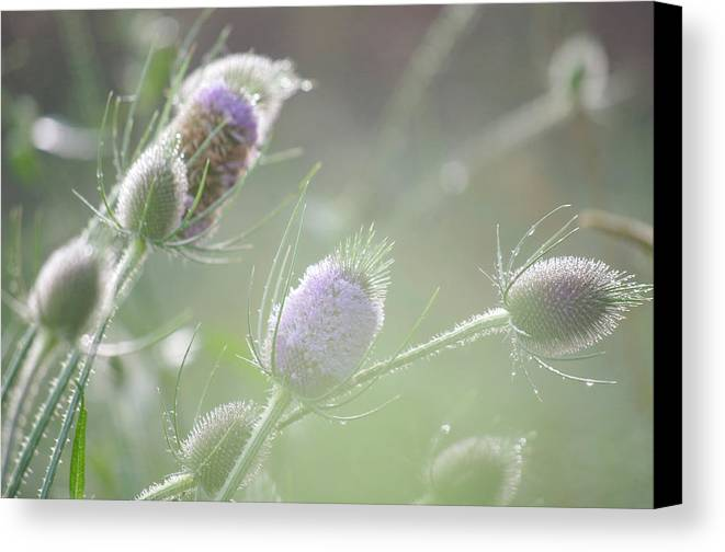 Thistle Canvas Print featuring the photograph Dew On Thistles 1 by Merrill Miller