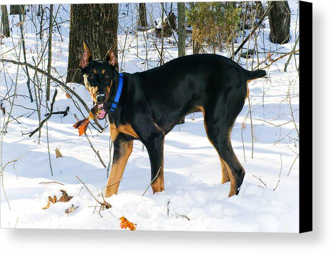 Doberman Canvas Print featuring the photograph Doberman by Melissa Riggs