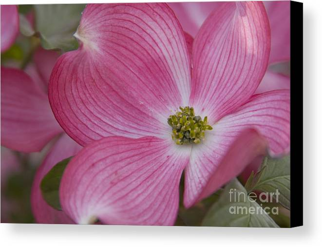 Dogwood Canvas Print featuring the photograph Dogwood Bloom by Idaho Scenic Images Linda Lantzy