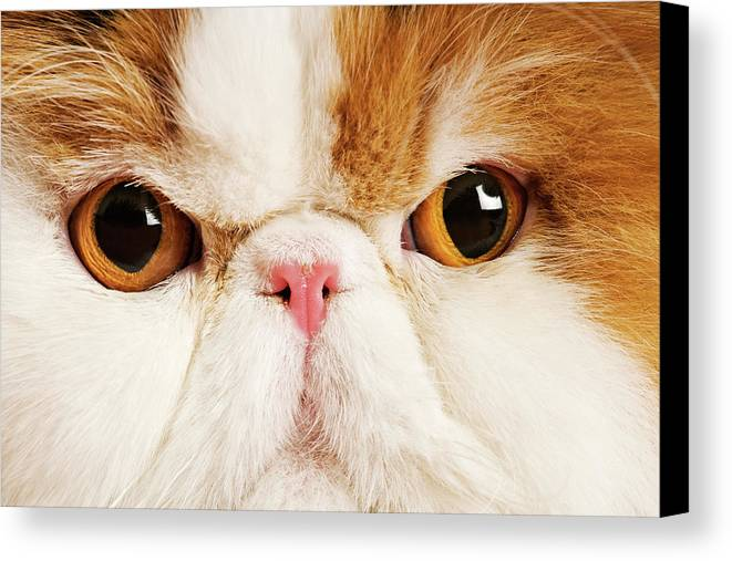 Horizontal Canvas Print featuring the photograph Domestic Persian Cat Against White Background. by Martin Harvey
