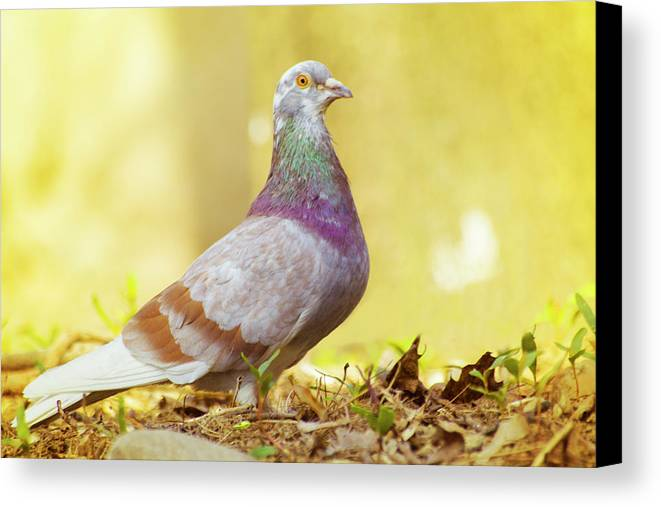 Dove Canvas Print featuring the photograph Dove Standing Close Up by Vlad Baciu