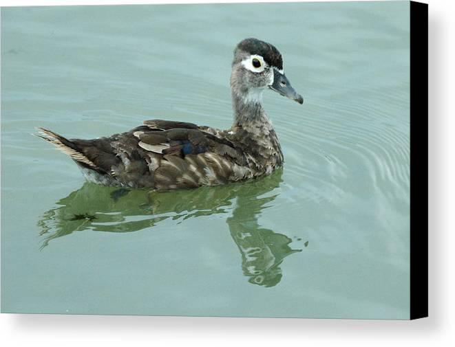Bird Canvas Print featuring the photograph Duckling by Teresa Blanton
