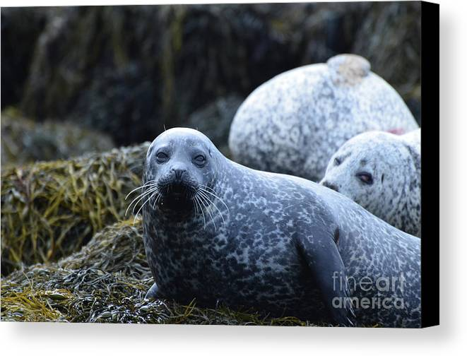 Seal Canvas Print featuring the photograph Dunvegan Loch With A Group Of Harbor Seals by DejaVu Designs