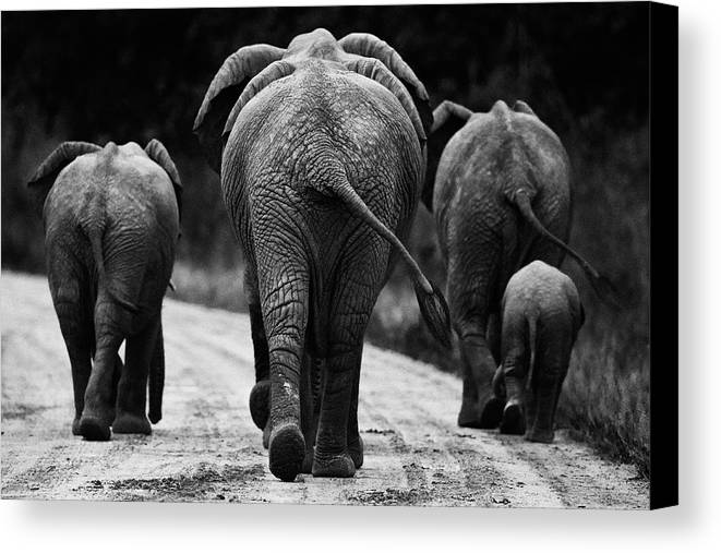 Africa Canvas Print featuring the photograph Elephants In Black And White by Johan Elzenga