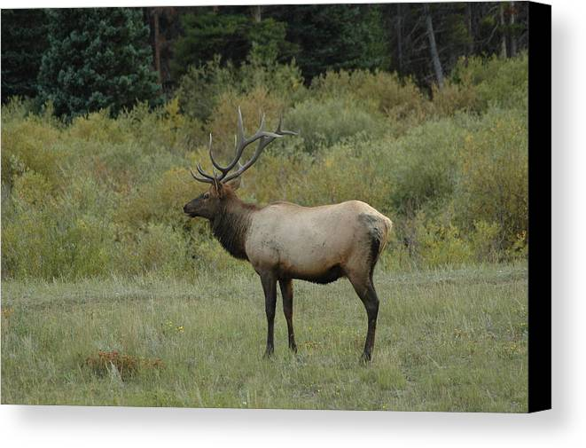 Elk Canvas Print featuring the photograph Elk by Kathy Schumann