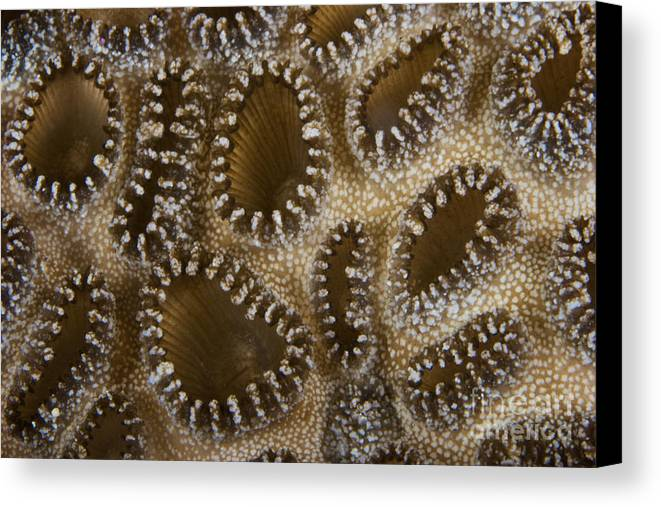 Palythoa Tuberculosa Canvas Print featuring the photograph Extreme Close-up Of A Crust Anemone by Terry Moore