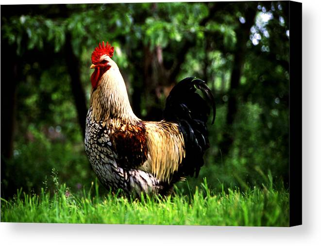 Canvas Print featuring the photograph Fancy Rooster by Roger Soule