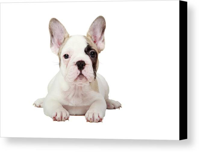 Horizontal Canvas Print featuring the photograph Fawn Pied French Bulldog Puppy by Mlorenzphotography
