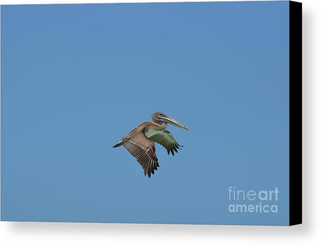 Pelican Canvas Print featuring the photograph Feathers On A Pelican Wings Flapping In Flight by DejaVu Designs