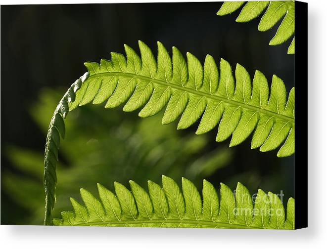 Garden Photo Canvas Print featuring the photograph Fern by Steve Augustin
