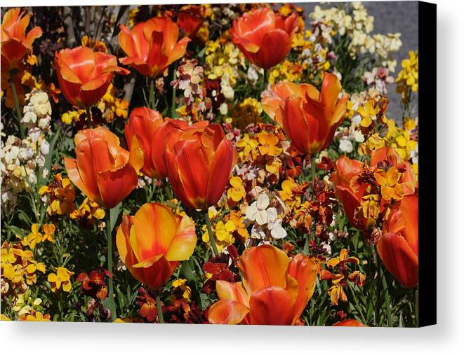 Tulips Canvas Print featuring the photograph Field Of Tulips by Pierre Leclerc Photography