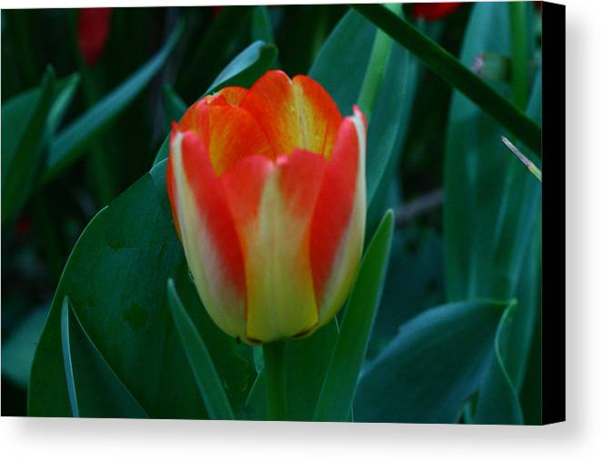 Botanical Canvas Print featuring the photograph Fire Tulip by David Houston