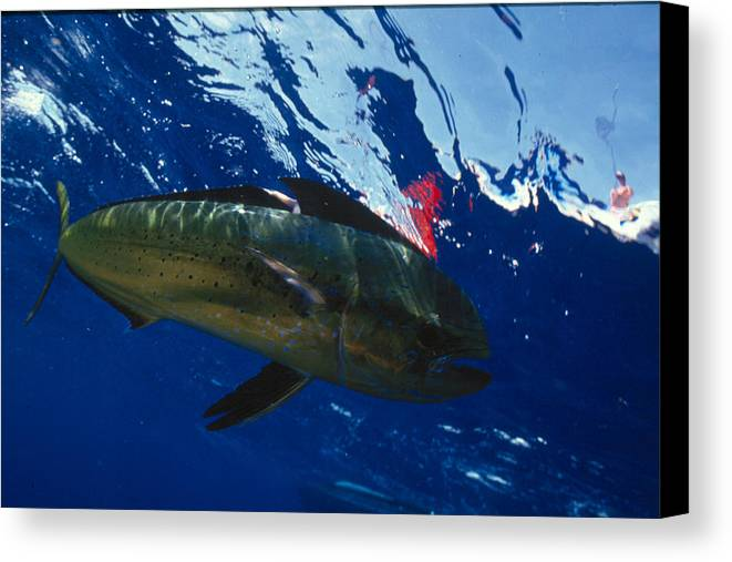 Ocean Canvas Print featuring the photograph Fish by Jim Derks