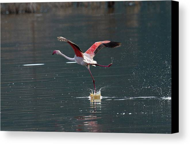 Flamingo Canvas Print featuring the photograph Flamingo Kick Off by Janet Chung