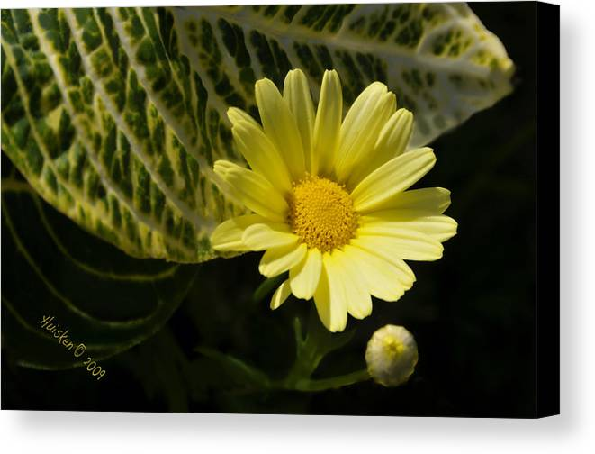 Daisy Canvas Print featuring the photograph Floating Daisy by Lyle Huisken