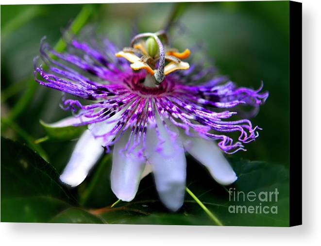 Passionflower Canvas Print featuring the photograph Flora Passiflora by Willows Cabin