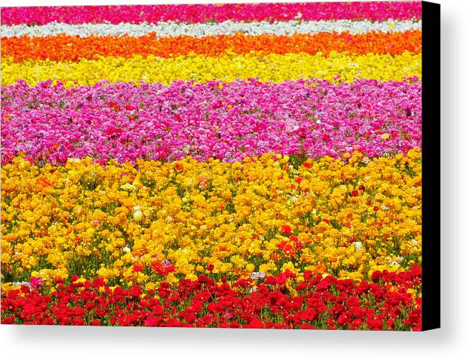 Flower Canvas Print featuring the photograph Flower Fields Carlsbad Ca Giant Ranunculus by Christine Till