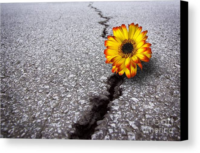 Abstract Canvas Print featuring the photograph Flower In Asphalt by Carlos Caetano