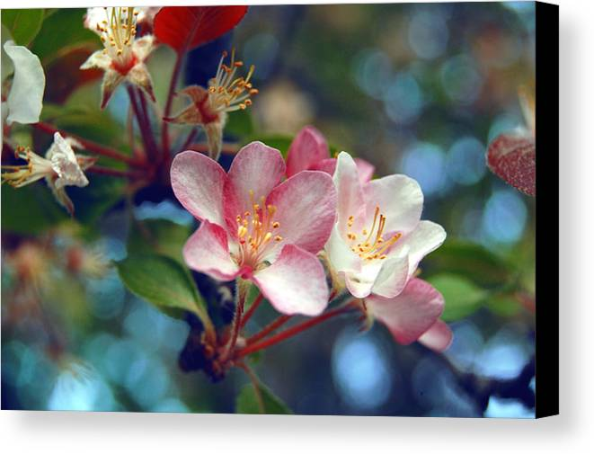 Flower Canvas Print featuring the photograph Flowering Crab by Jame Hayes