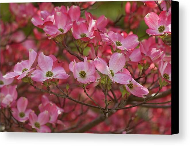 Nature Canvas Print featuring the photograph Flowering Dogwood Flowers 01 by Nick Kurzenko