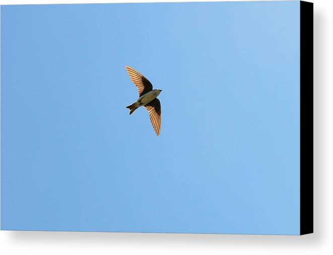 Swallow Canvas Print featuring the photograph Fly, Fly High Tree Swallow by Asbed Iskedjian