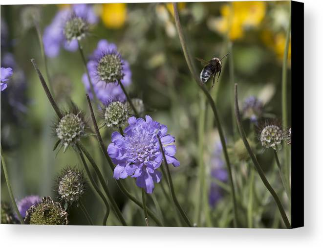 Bee Canvas Print featuring the photograph Flying Bee 2. by Les OGorman